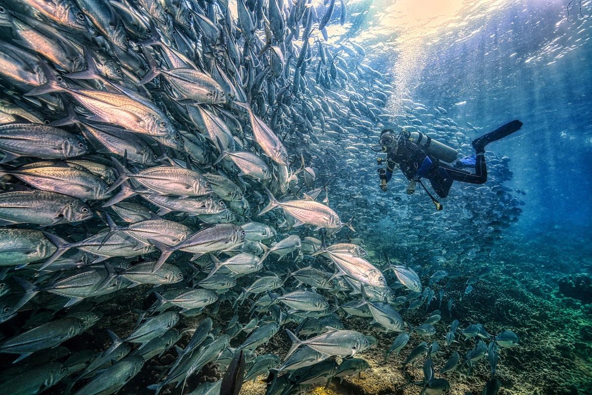 Escuela de peces jurel