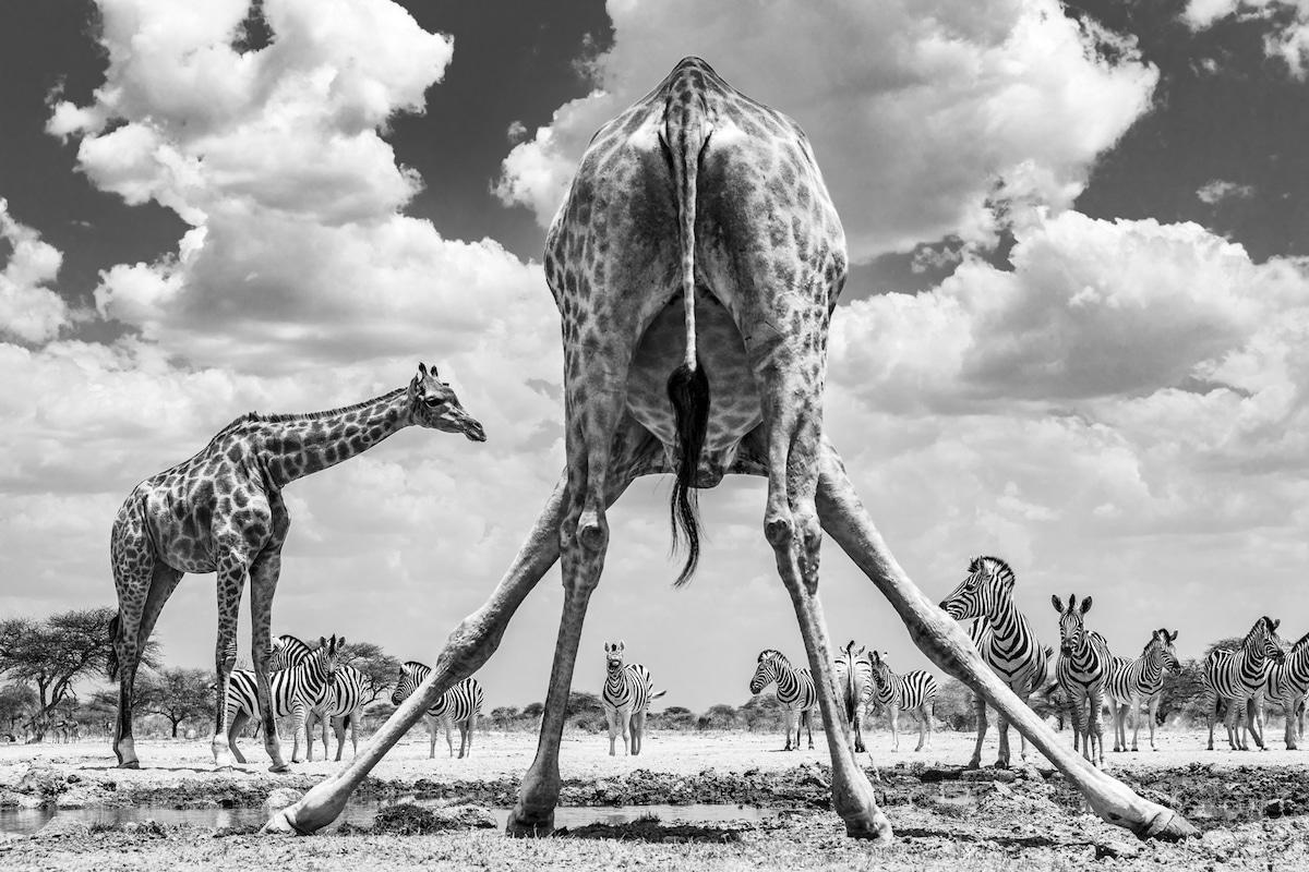 Jirafa en Namibia