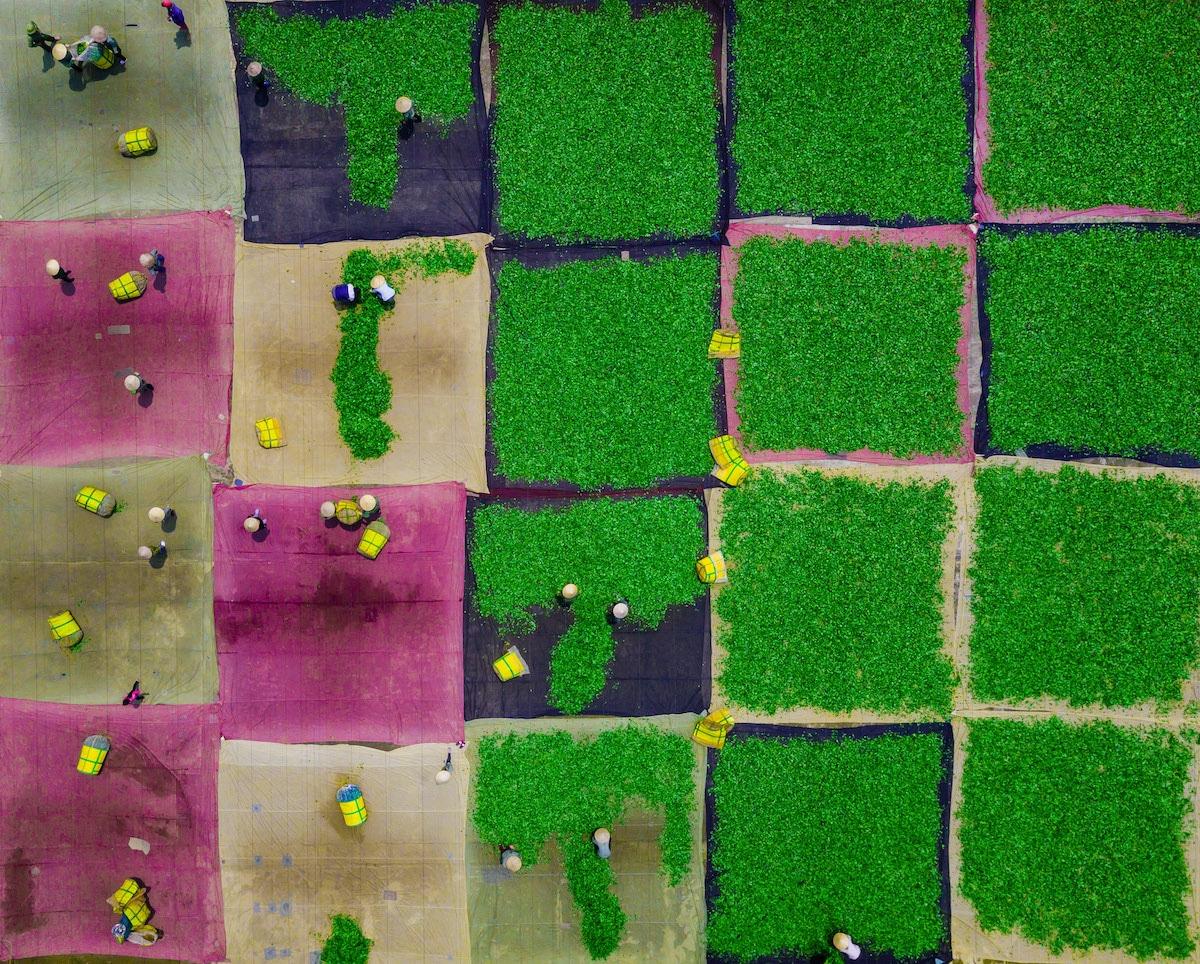 Oolong Tea Fields in Vietnam