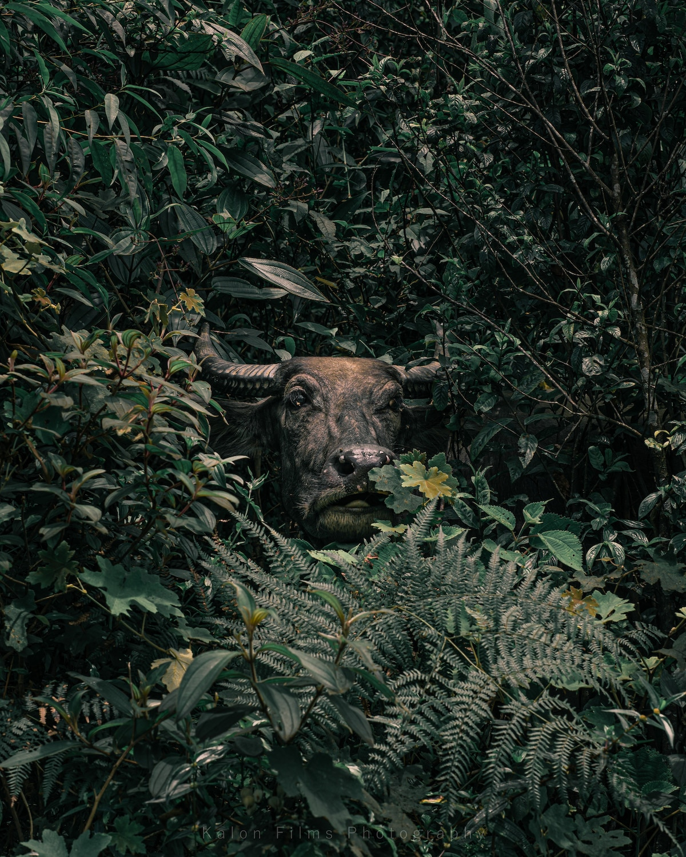 Búfalo de agua