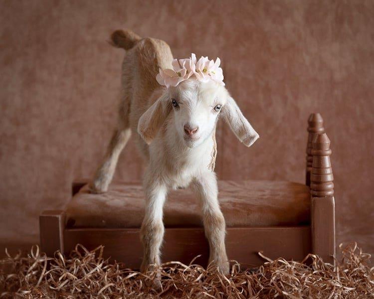 fotos de cabras bebés