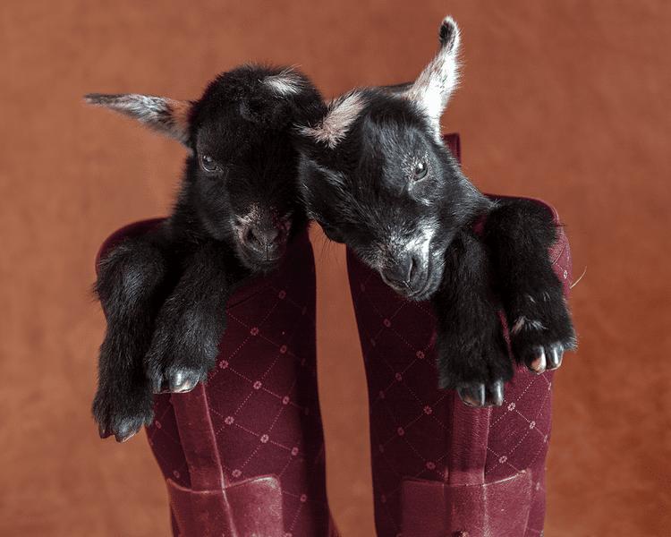Cute Baby Goat Photos