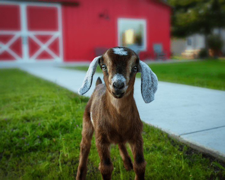 Baby Goat in Front of a Red Barn