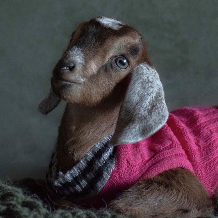 Cute Baby Goat Pictures