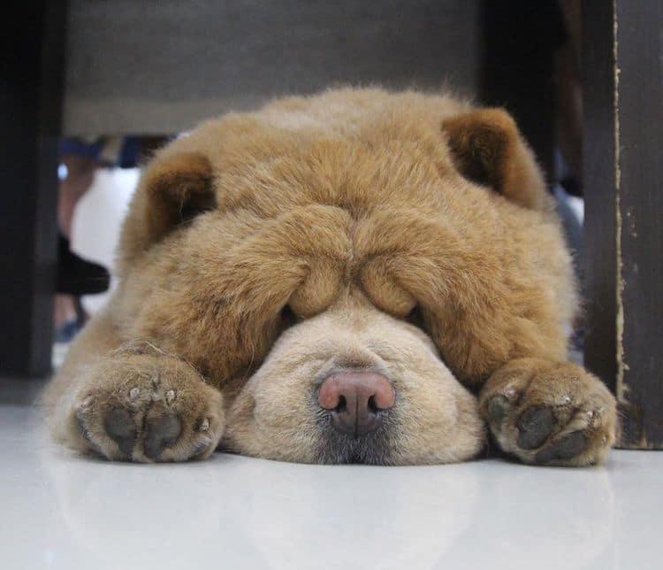 Chowder the Teddy Bear Dog