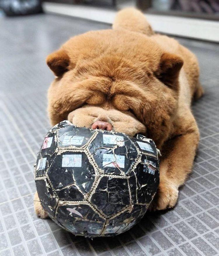 perro chow chow perro oso de peluche