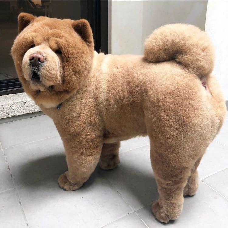Chowder the Chow Chow Dog