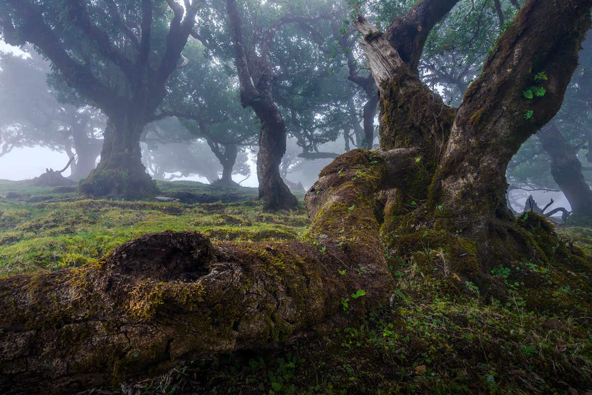 Fanal Forest by Albert Dros