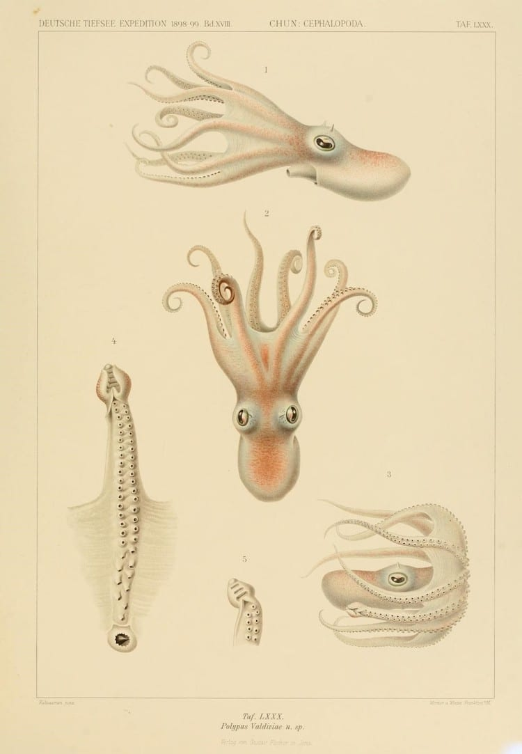 Cephalopod Atlas by Carl Chun