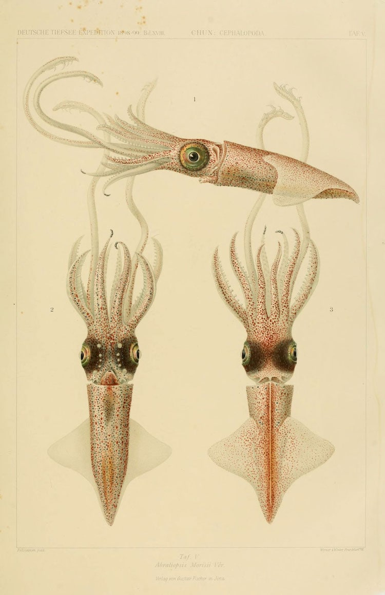 Cephalopod Atlas Illustrations by Friedrich Wilhelm Winter