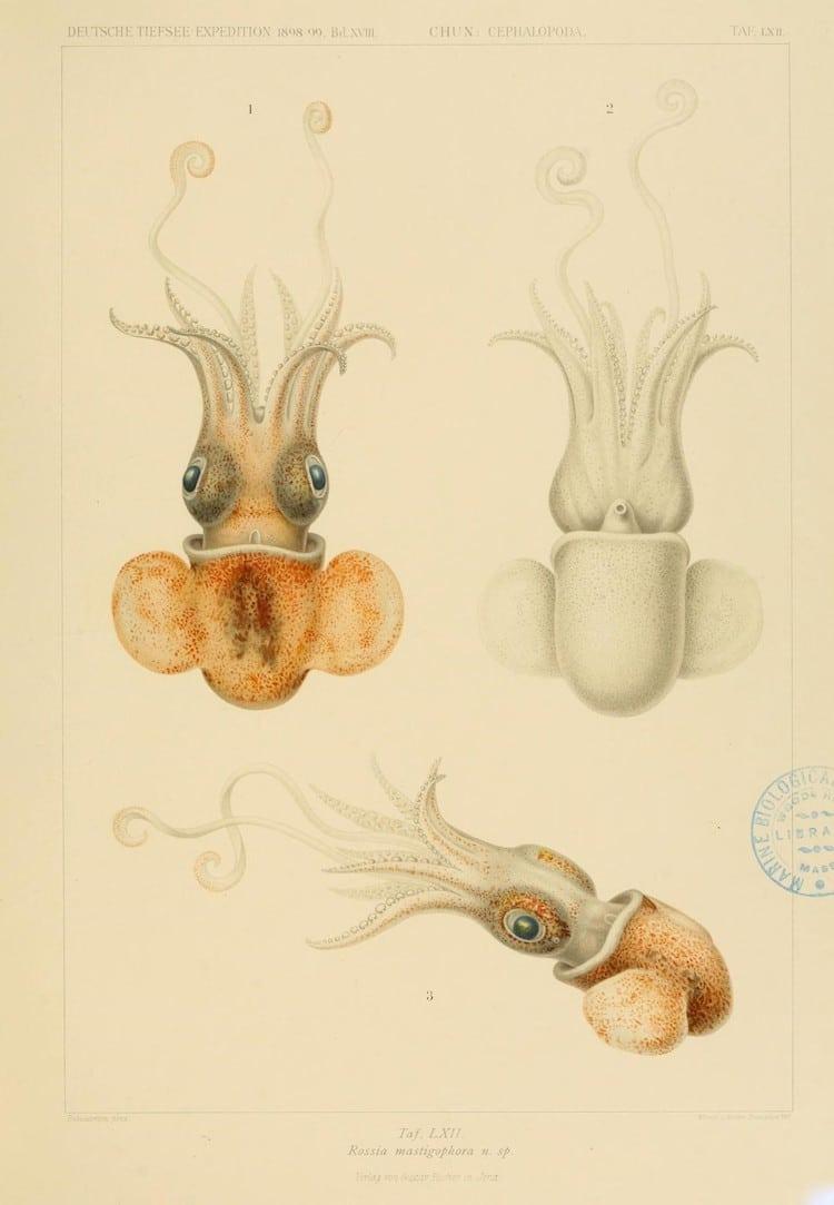 Biodiversity Heritage Library Cephalopod Atlas