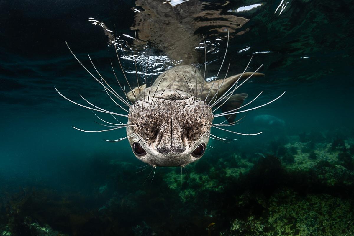 Grey seal Upside Down Underwater by Greg Lecoeur