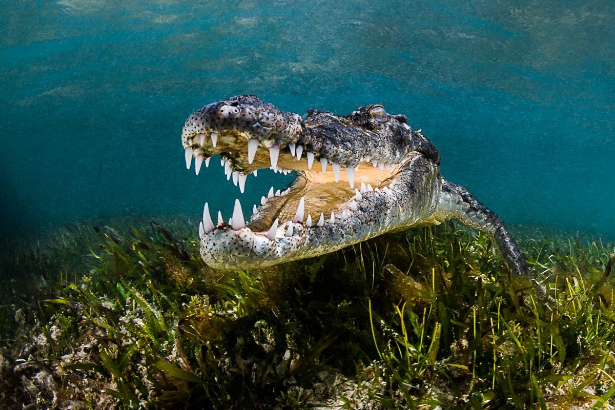 American crocodile underwater