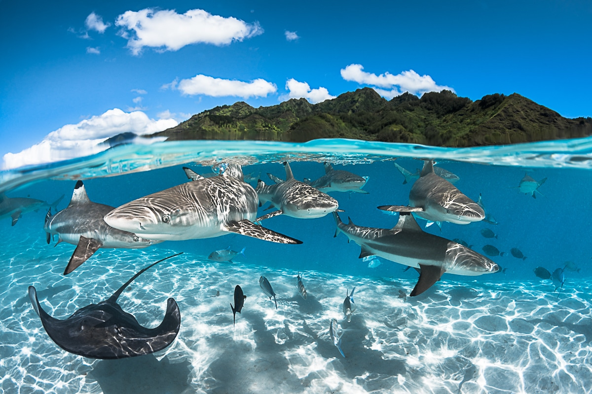 Black tip sharks and rays in the Moorea Lagoon