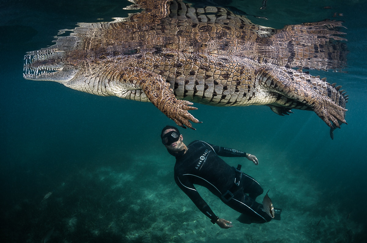 Free diver swimming with American Crocodile