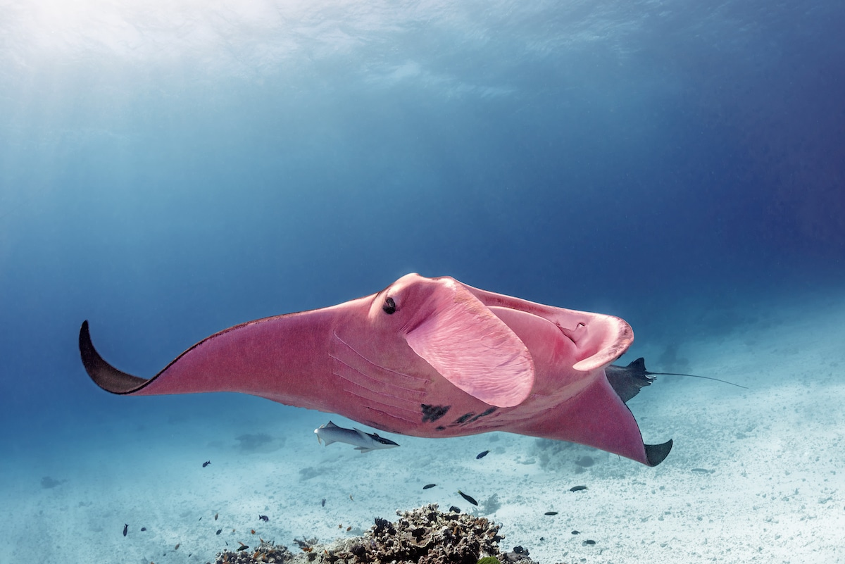 Pink Manta Ray at the Great Barrier Reef
