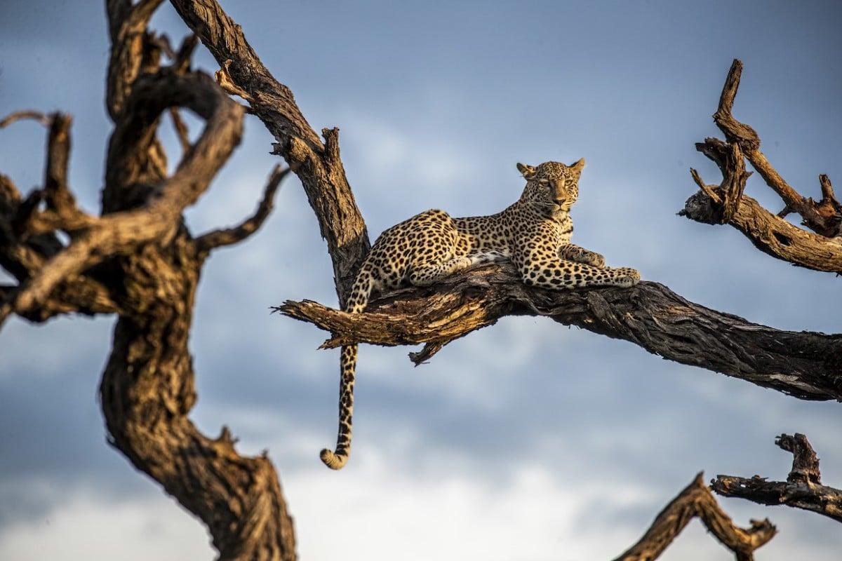 Female Leopard in Tree