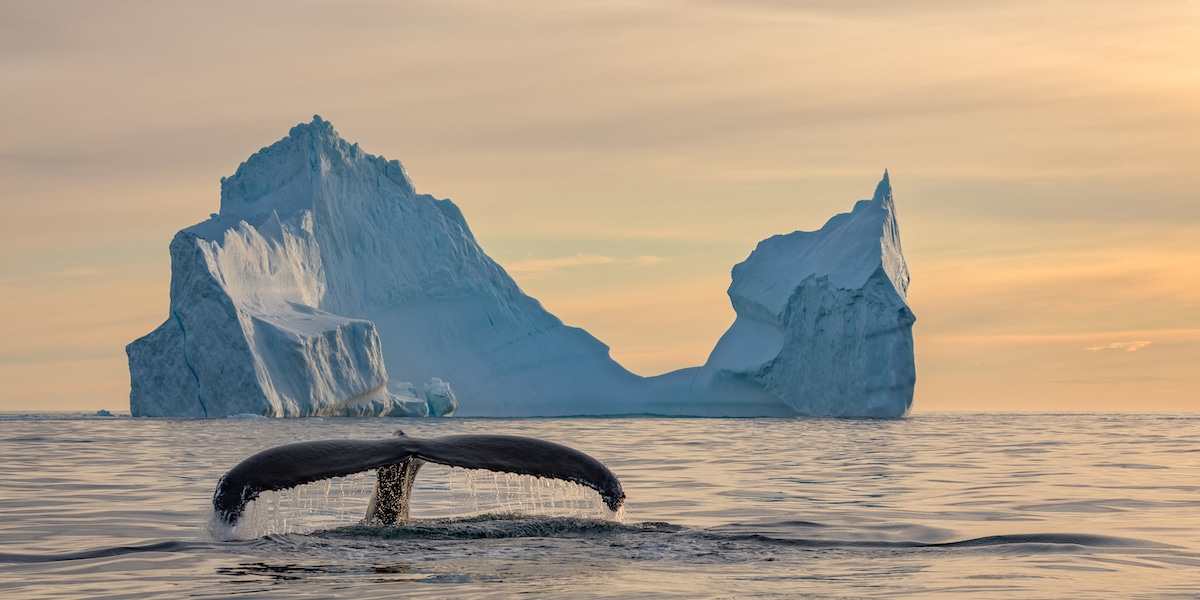 Humpback Whale Breaking the Surface with Iceberg in the Background