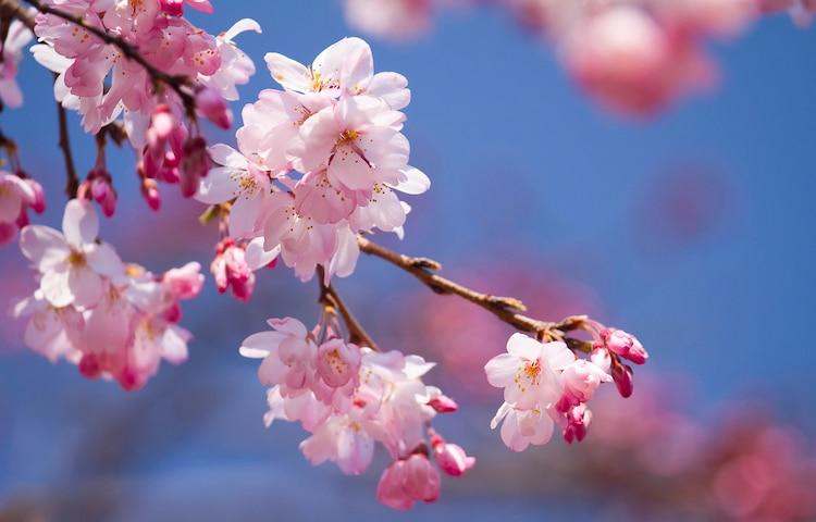 Acercamiento de flores de cerezo, o sakura