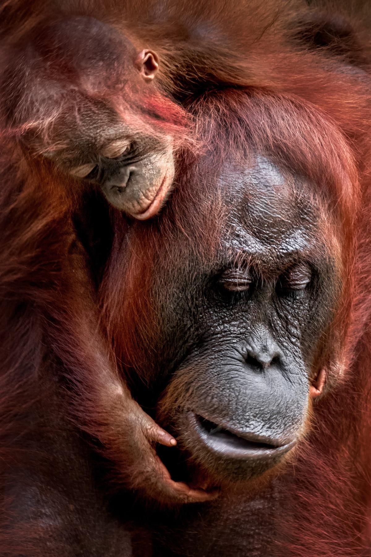 Mother and baby orangutan embracing