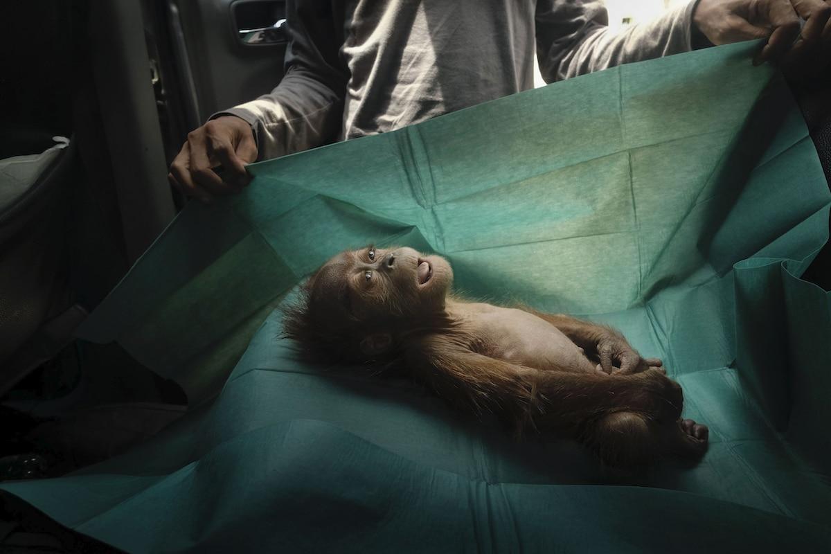 Young orangutan lying on surgical table