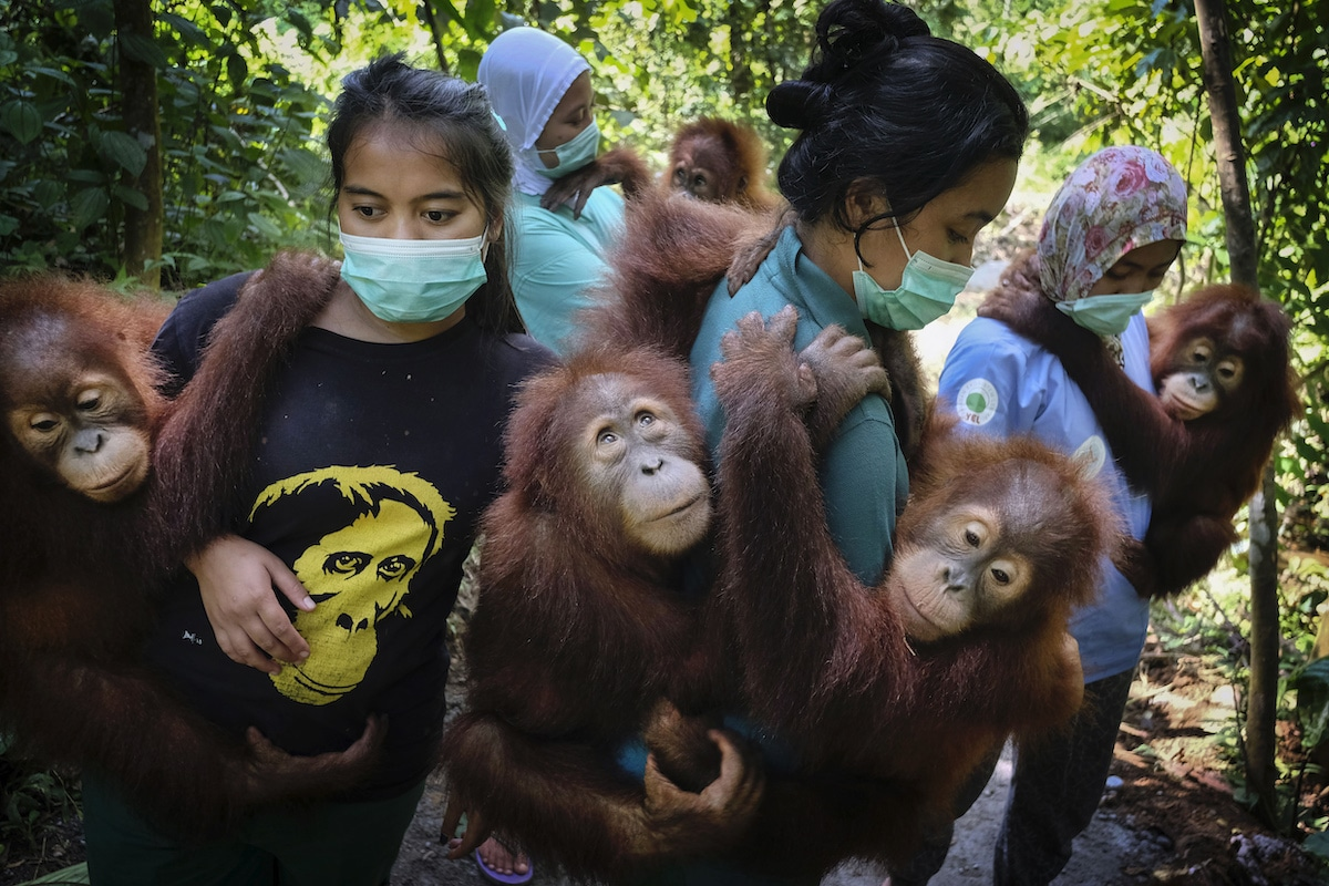 Orphaned orangutans with mother-substitutes from the Sumatran Orangutan Conservation Programme (SOCP)