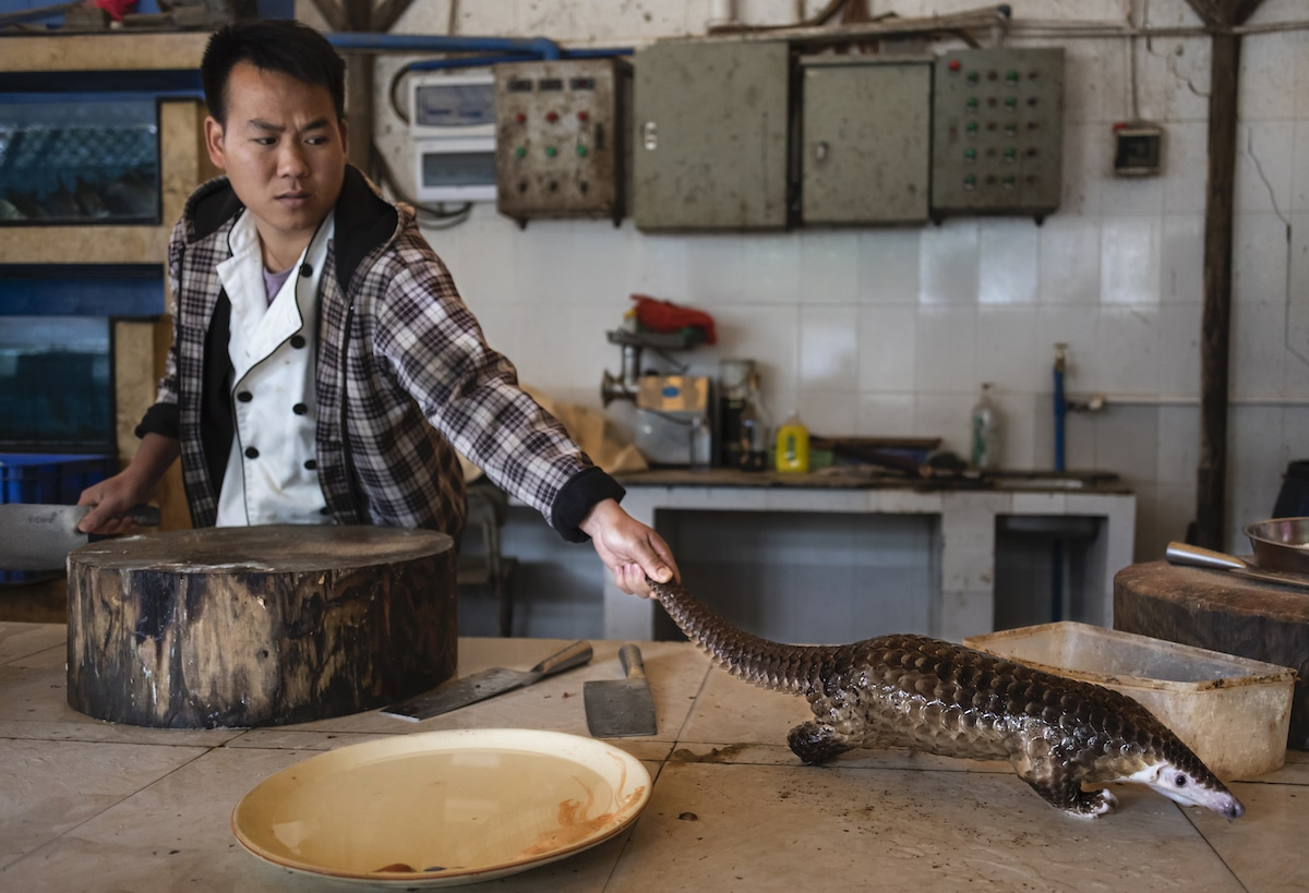 Pangolin about to be slaughtered at restaurant in China