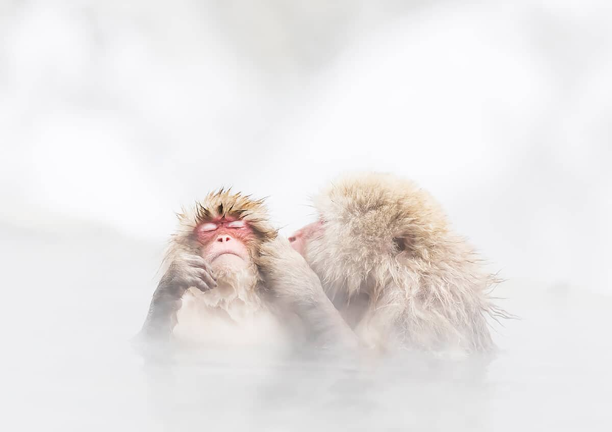 Monkeys in Japanese Hot Springs