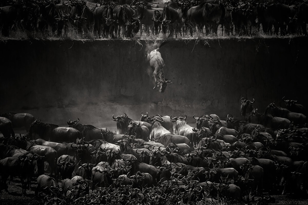 Jumping Herd of Wildebeest