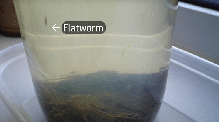 Flatworm in Closed Jar of Pond Water