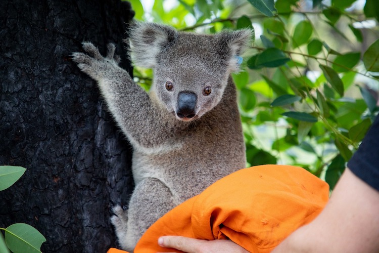 Koala Being Returned to Its Home After Australian Bushfires