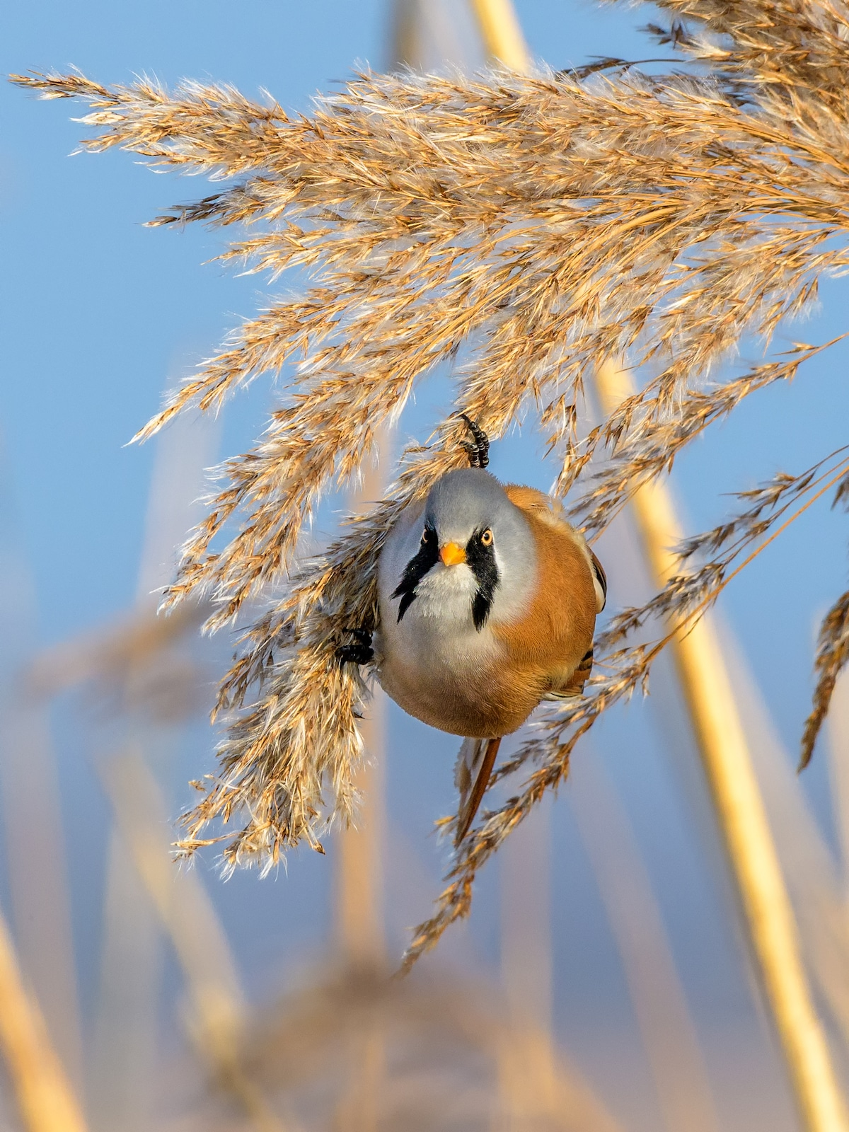 Bearded Reedling Balancing on Reeds