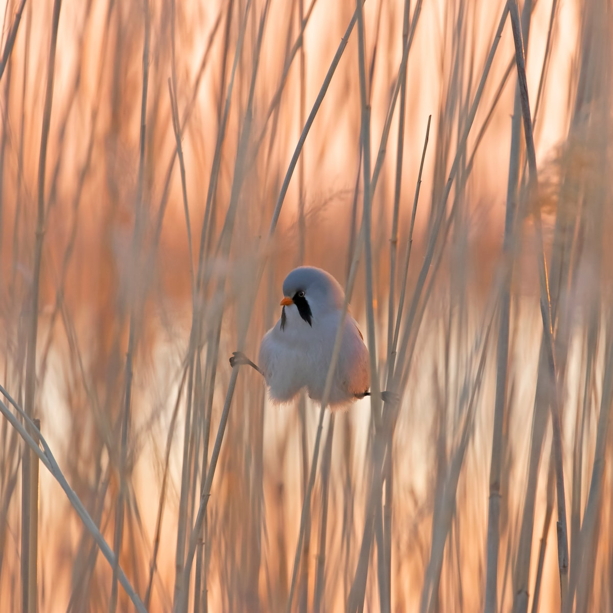 Bearded Tit Balancing in the Reeds