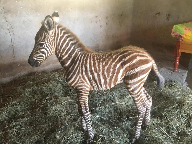 Baby Zebra at the Sheldrick Wildlife Trust