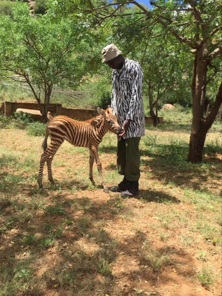 Baby Zebra Rescue at the Sheldrick Wildlife Trust