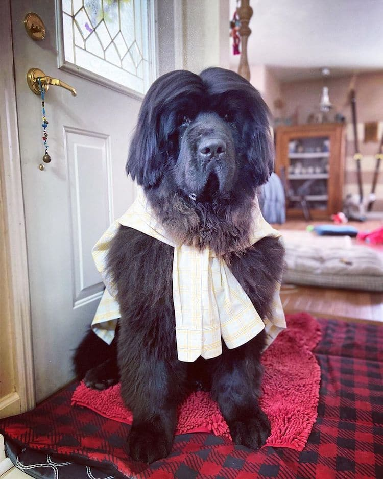 Hank perro terranova