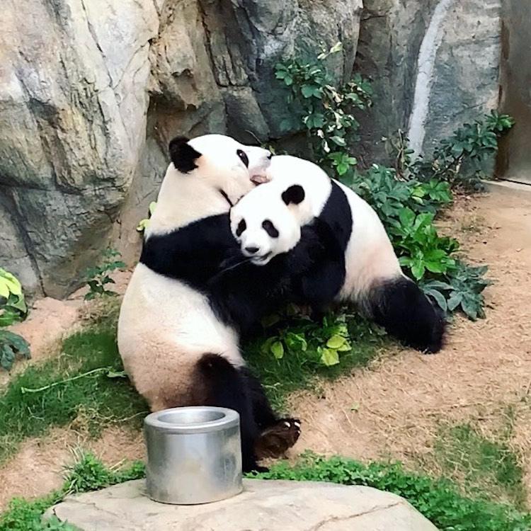 Pandas in Hong Kong Hug After Mating