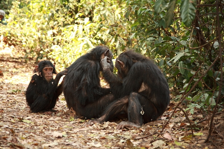 Chimpanzees Sitting in the Forest
