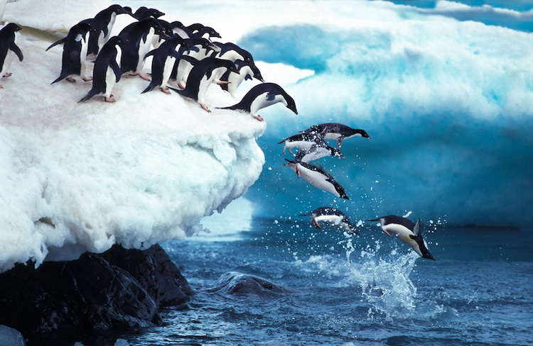 Penguins Leaping Off an Iceberg