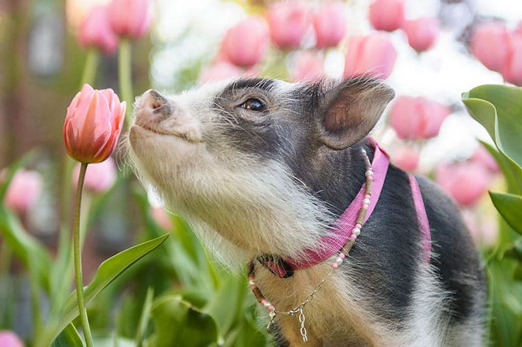 Fluffy The Therapy Pig Photos by Chantal Levesque