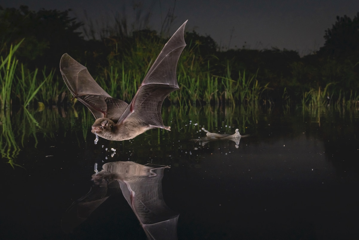 the Mozambique long-fingered bat Skimming a Lake
