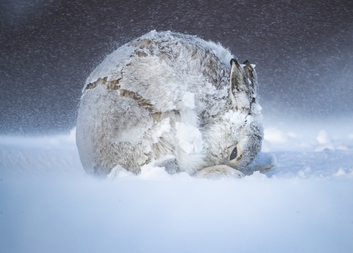 Mountain Hare Curled Up in the Snow