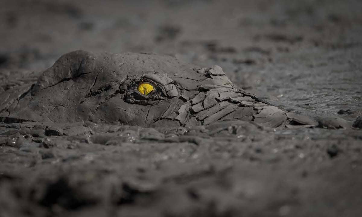 Crocodile Hidden in the Mud