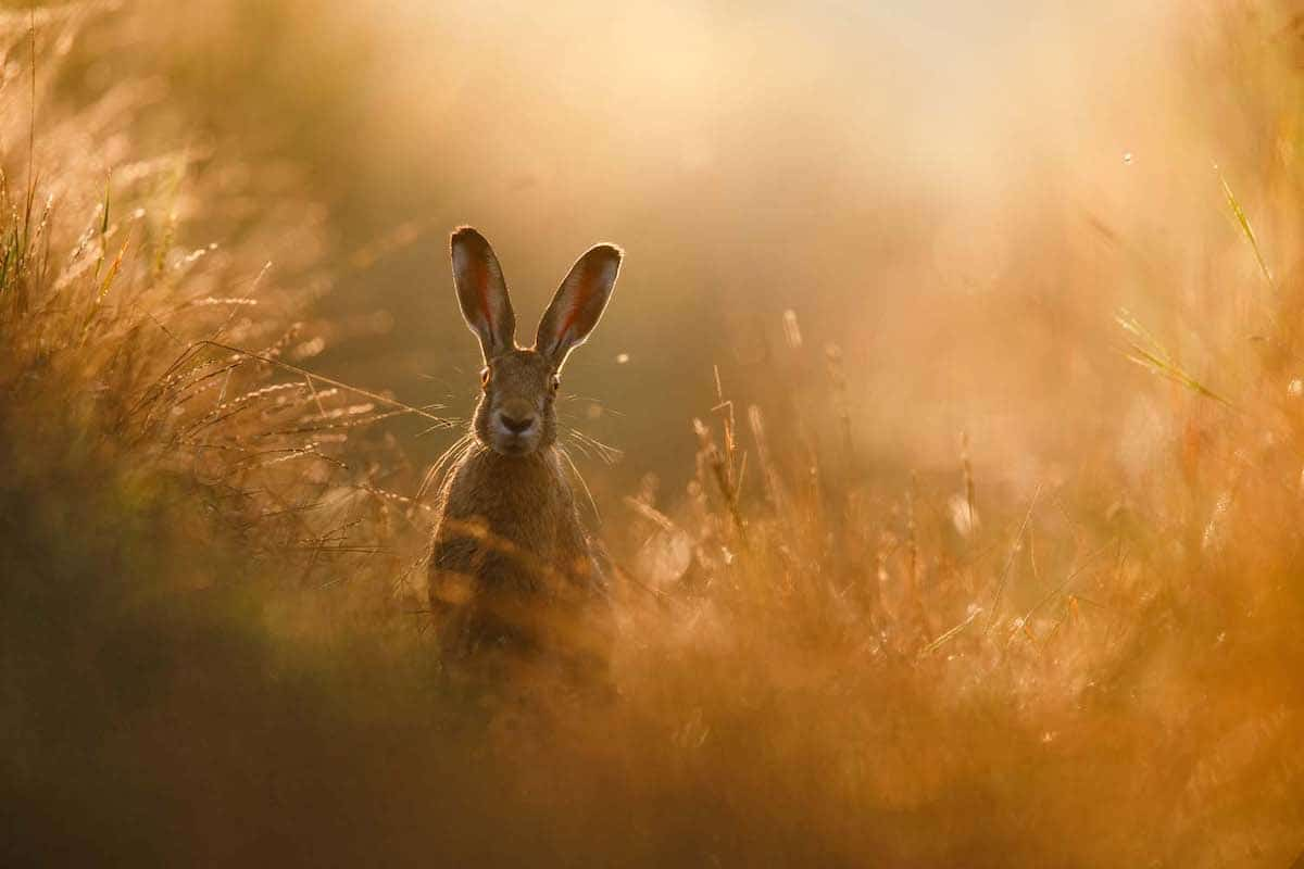 European Hare in a Field