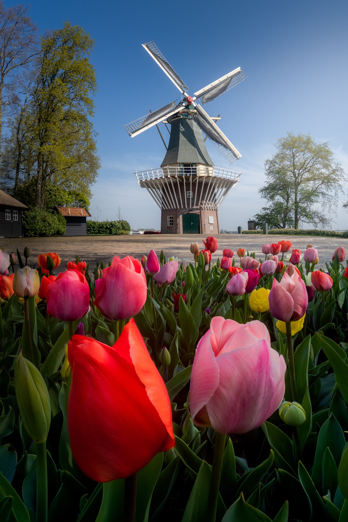 Windmill and Tulips at the Keukenhof