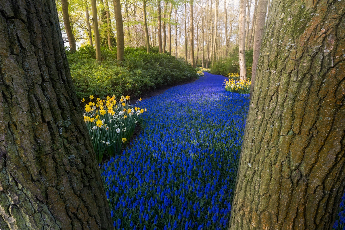 Blue River of Hyacinths at the Keukenhof