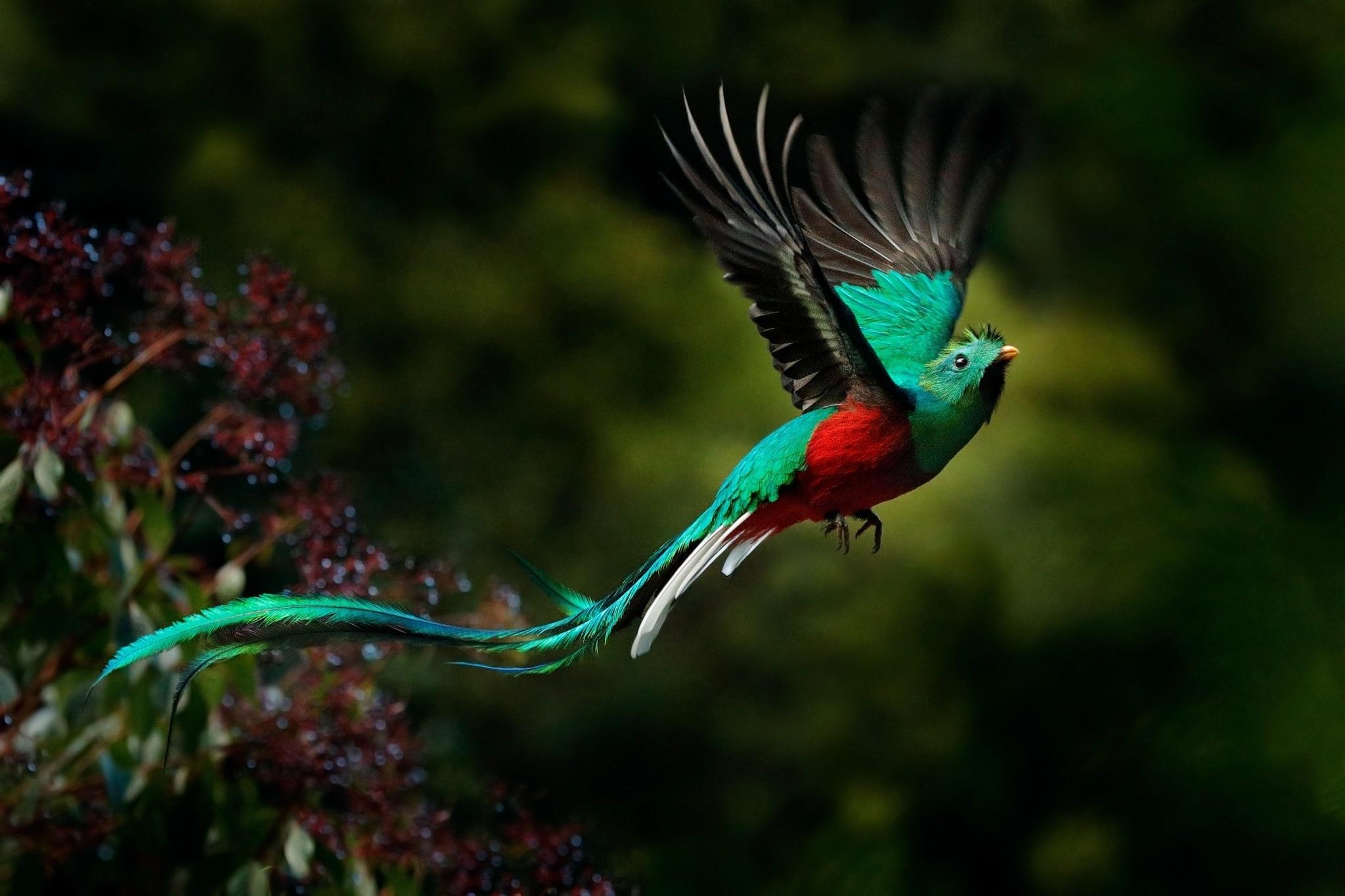 Quetzal guatemalteco en vuelo