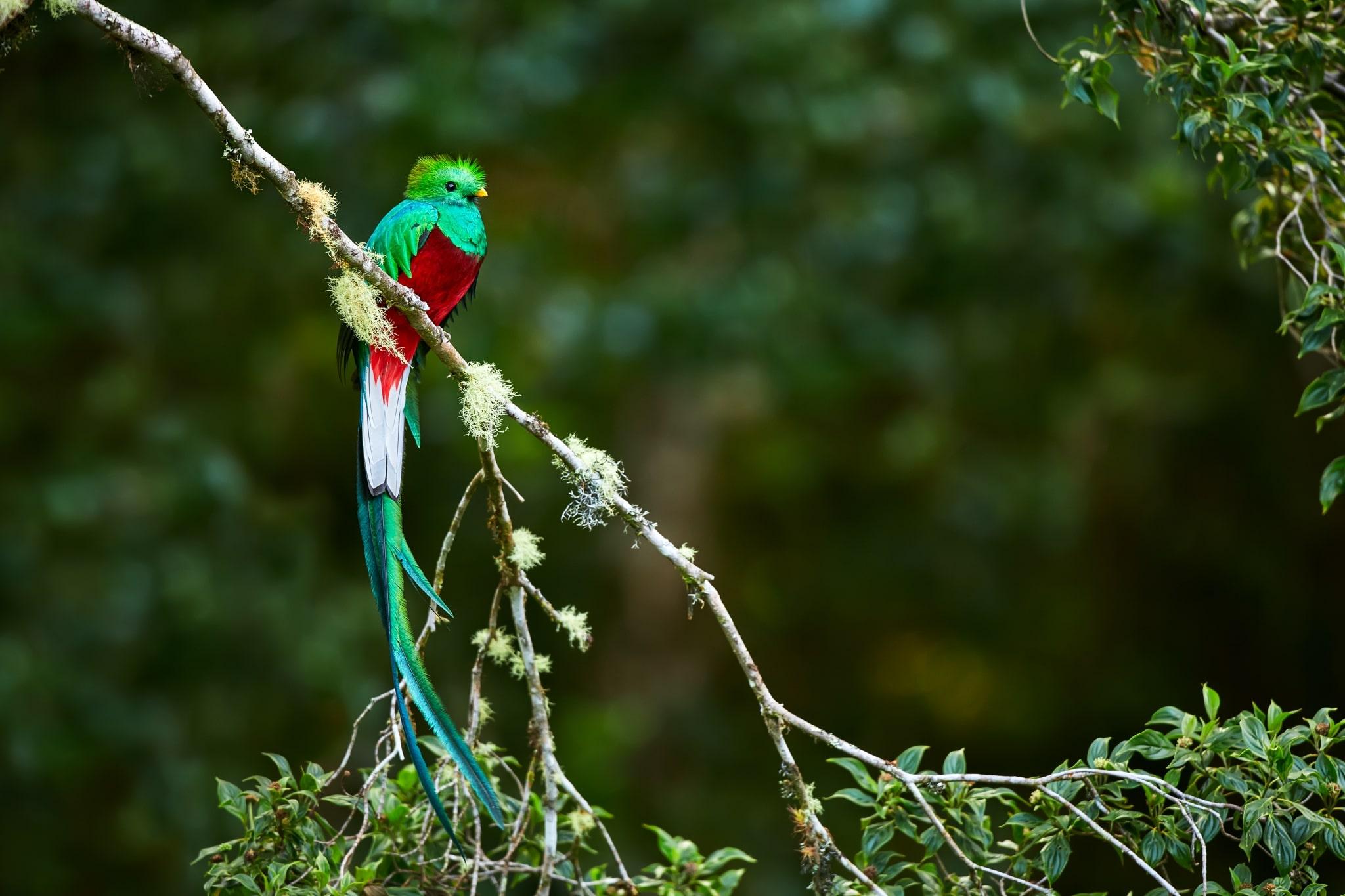 Quetzal postrado en una rama