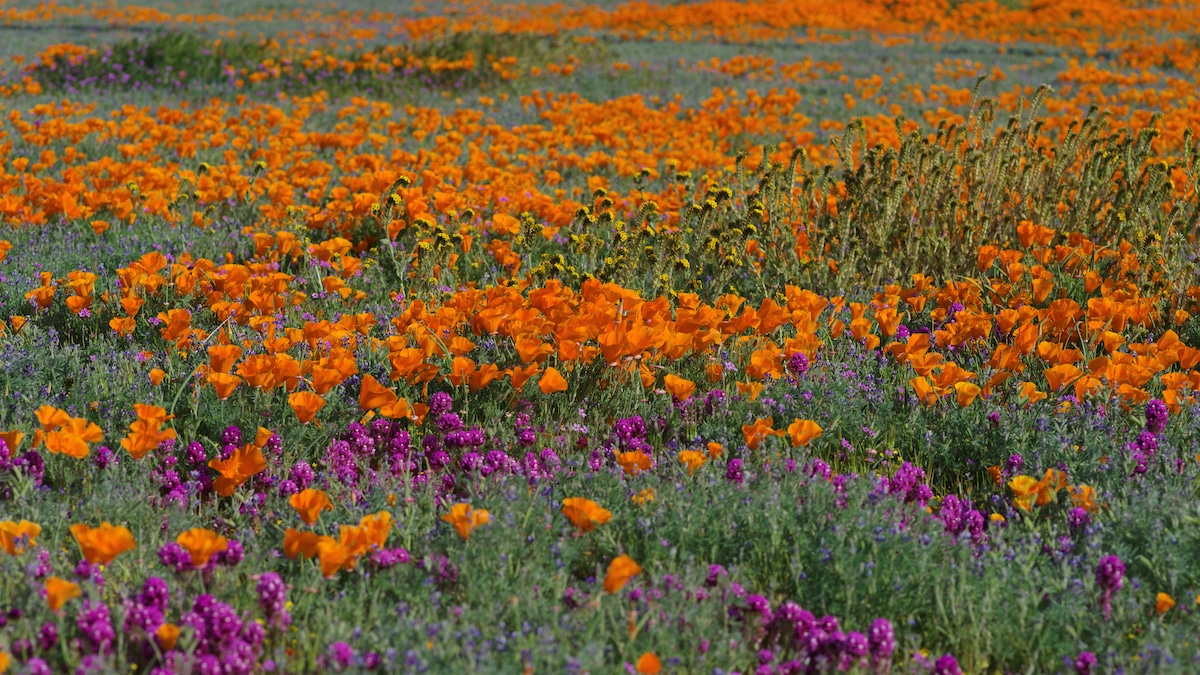 Wildflowers at the Antelope Valley California Poppy Reserve