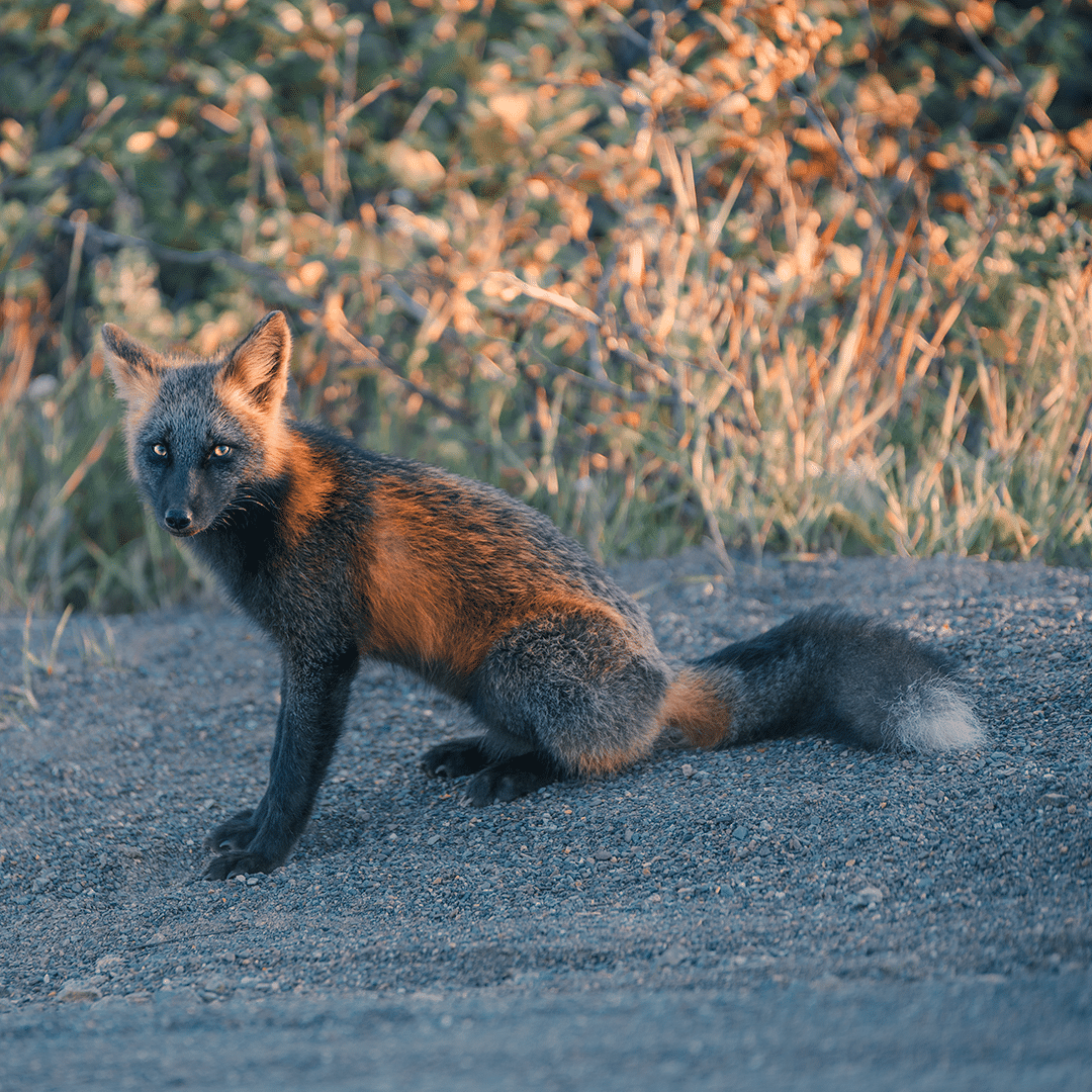 Orange and Black Fox by Sam Gaby